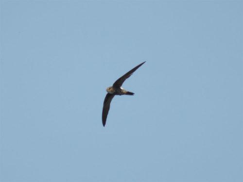 Pacific Swift キタアマツバメ id101450 Photographs of Japanese birds